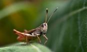 Konzumacija cvrčaka reducira upalne procese u organizmu