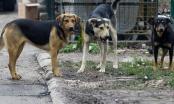 Sve više pasa lutalica na javnim površinama Distrikta, šansa za mnoge Brčake da zarade