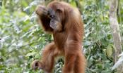 Orangutan hrabro pokušavao zaustaviti bager koji uništava njegov dom /VIDEO/