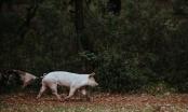 Lovci pobili domaće svinje jer su mislili da su divlje