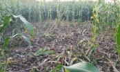 Brčko: Divlje svinje ponovo nanijele štete poljoprivrednicima u južnom dijelu distrikta (FOTO)