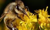 Hercegovački pčelari proizvodit će pčelinji otrov za liječenje karcinoma dojke