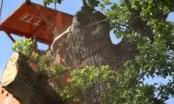 Struka spašava najstariji hrast u BiH: Visok je 19 metara i ima 500 godina