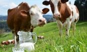 Tuzlaci godišnje proizvedu 30 miliona litara mlijeka: Potrebna veća ulaganja u pravljenje sira i maslaca