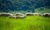 I ovo je BiH: Anonimni donator četvoročlanoj porodici donirao stado ovaca