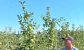 Priča Ibre Junuzovića iz Šatorovića: Zadovoljan urodom jabuke, već 5 godina investira u voćnjake